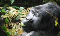 Gorilla Tour in Rwanda