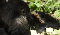 Gorilla Tour in Rwanda and Uganda