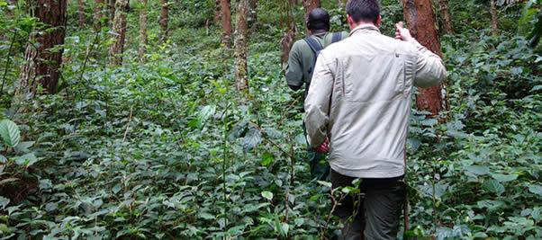 gorilla trekking in Volcanoes NP