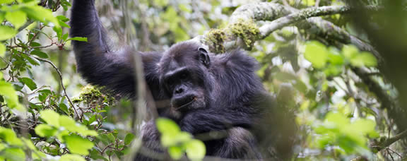 chimps tracking in Rwanda
