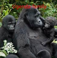 ugenda-gorilla-family