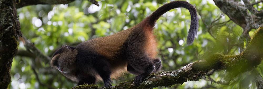 rwanda-golden-monkeys