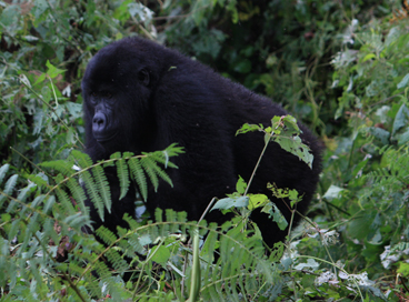 about gorillas and history