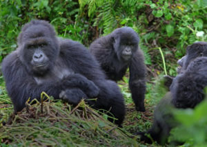 6 Days gorilla safari in Uganda
