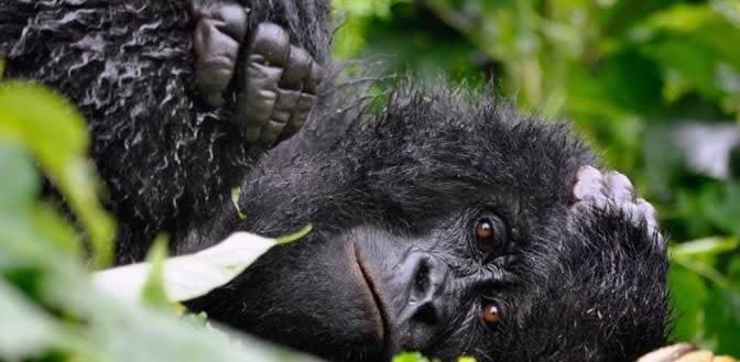 Rwanda gorilla tour