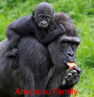 Amahoro-gorilla-family