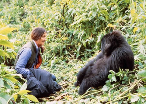 life in the wild in gorillas in the mist by dian fossey Dian fossey's classic account of four gorilla families the basis for the major movie starring sigourney weaver for thirteen years dian fossey lived and worked with uncle bert, flossie, beethoven, pantsy and digit in the remote rain forests of the volcanic virunga mountains in africa, establishing an unprecedented.