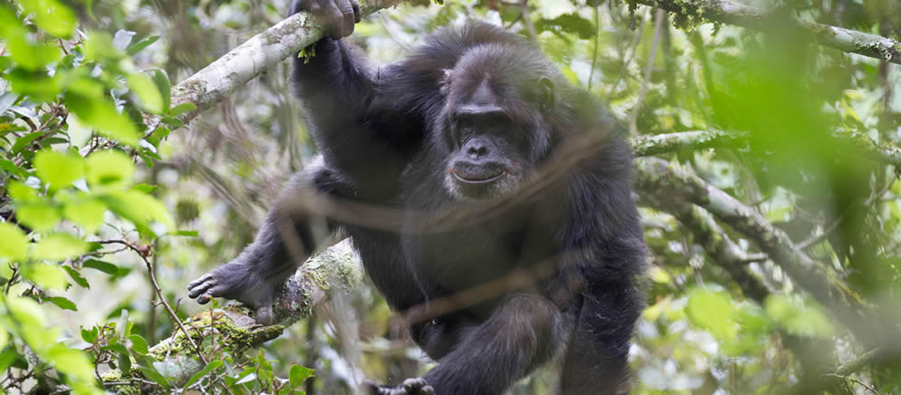chimpanzee habituation in kibale