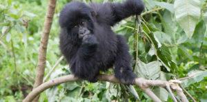 gorilla trek bwindi