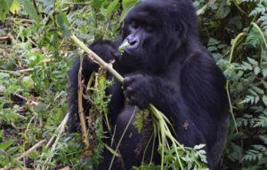Gorilla ours in Rwanda