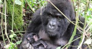 Gorilla trekking advice