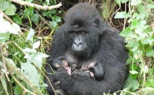 Congo gorilla Treks