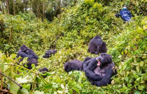 Congo Gorilla Safaris