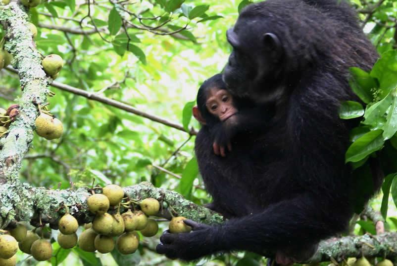 chimpampanzee trekking in uganda