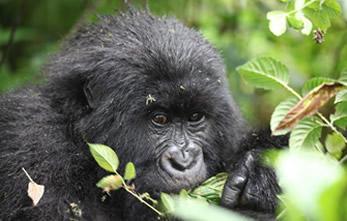 Rwanda Uganda Gorilla trekking