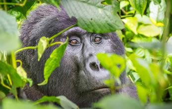 Gorilla treks Rwanda