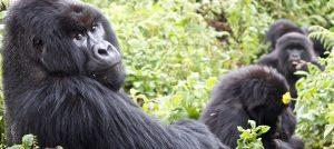 Gorilla groups in Uganda