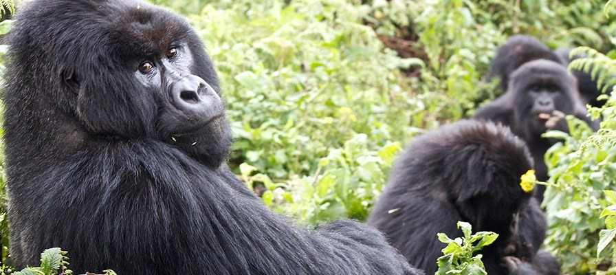 Gorilla groups in Uganda