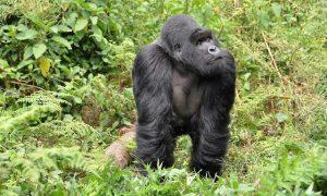 Gorilla safaris Uganda Rwanda