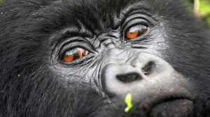 Donot look into the eyes of a mountain gorilla