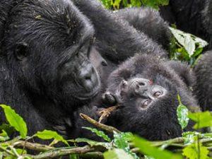 Bwindi forest gorilla tours