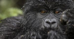 How to cost a uganda gorilla tour