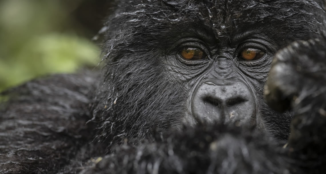 How to cost a uganda gorilla tour
