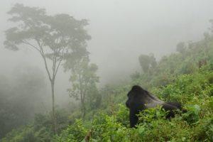 Best time to trek gorillas in Bwindi