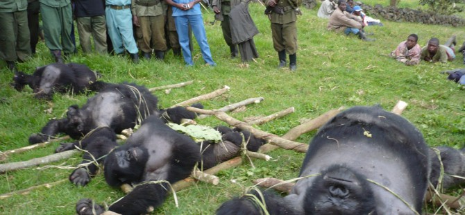 threats to mountain gorillas