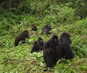 Rwanda gorilla family migrates to Uganda