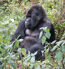 Mgahinga gorilla trips