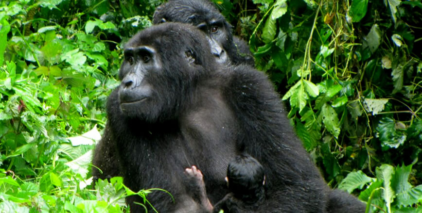 New baby gorilla born in Rushegura Family