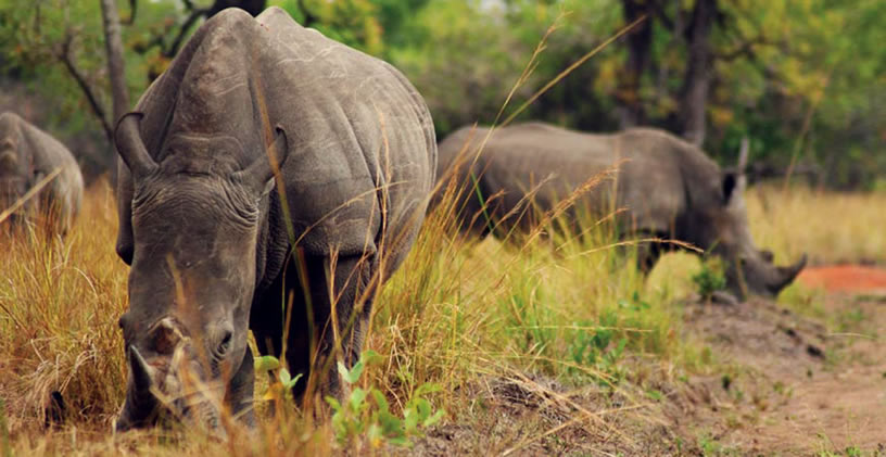 Where to trek rhinos in Uganda