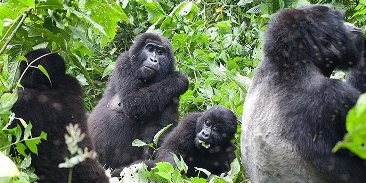 Bwndi Gorilla Families