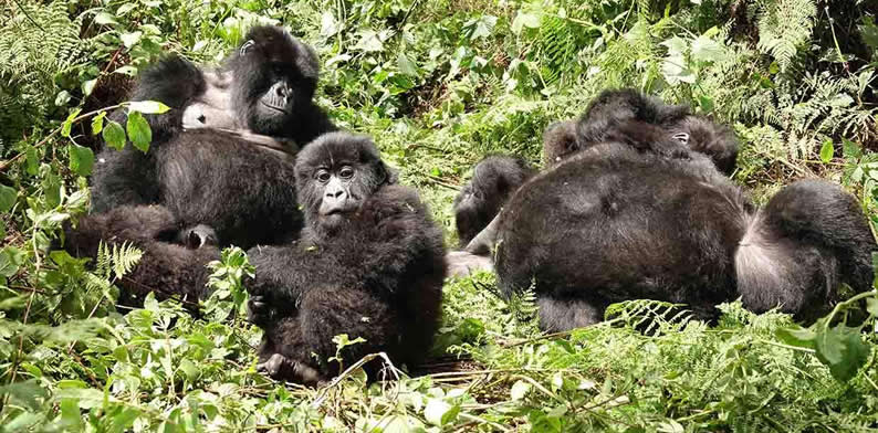 Threats to gorilla trekking