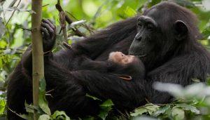 Discounted gorilla and chimpanzee permits in Uganda