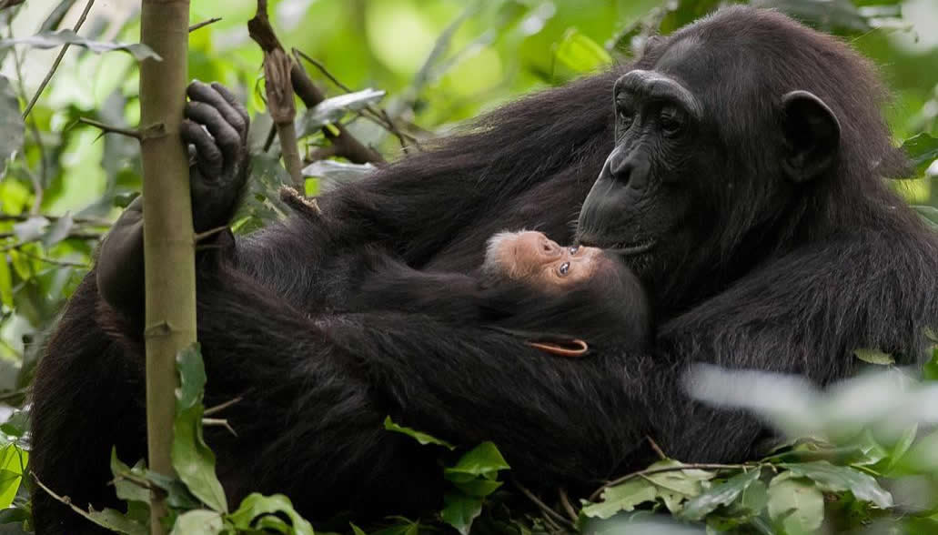 Discounted gorilla and chimpanzee permits in Uganda