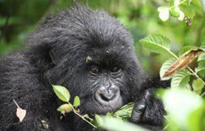 Double gorilla trekking in Uganda