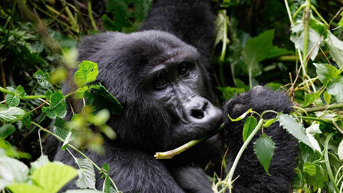 Post covi19 gorilla trekking guidelines