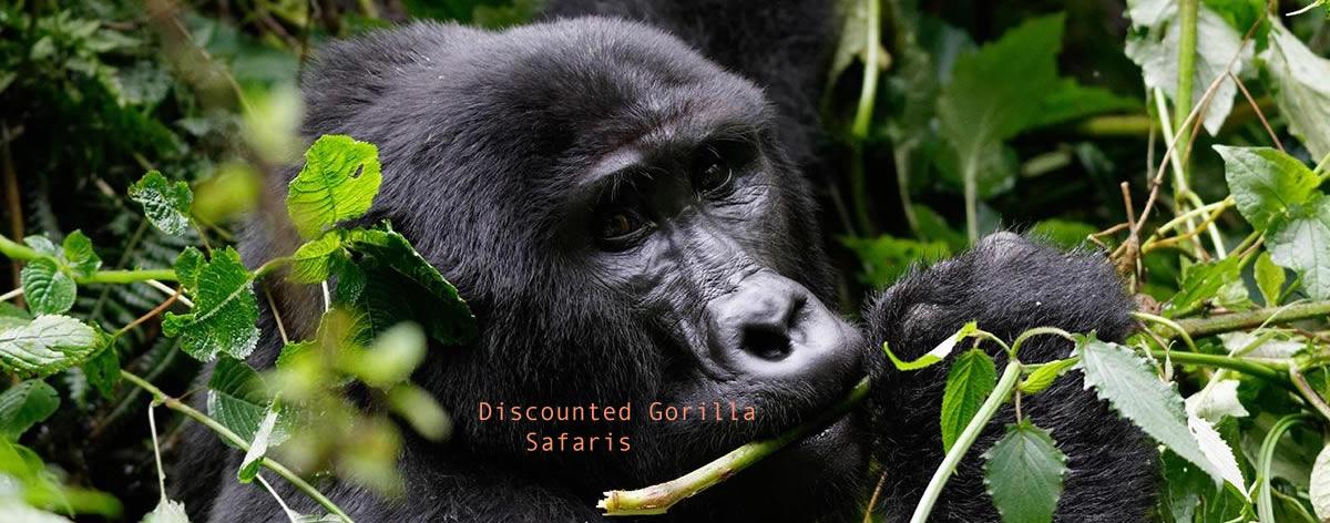 Gorilla Safaris in Africa