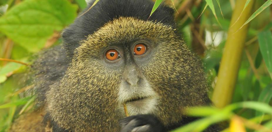 golden-monkey-trekking-rwanda