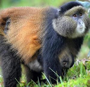 Luxury gorilla safaris