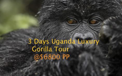 Luxury Uganda gorilla trekking