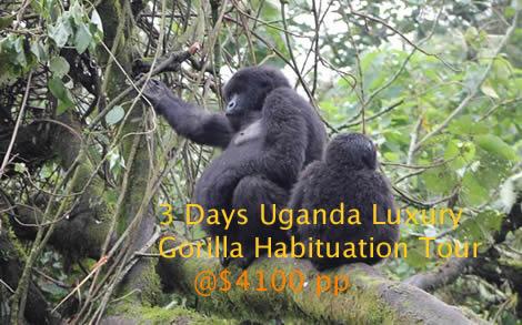 Luxury Gorilla Habituation experience