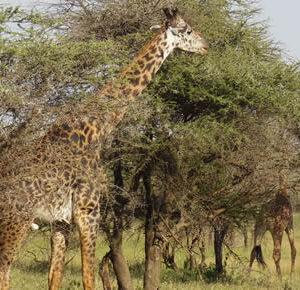 Uganda game safaris
