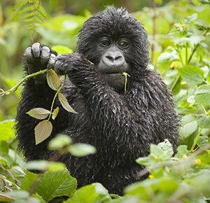 3 Days Uganda Luxury Gorilla Tour