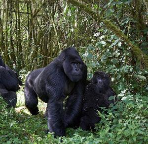 6 Days Rwanda gorilla safari